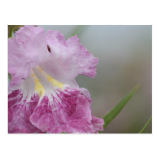 Soft purple and yellow Jacaranda flowers of spring Postcard