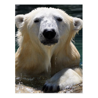 Soggy Polar Bear Postcard