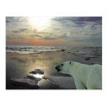 Sol de medianoche y oso polar, Océano ártico Postales
