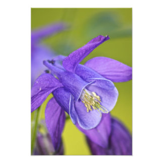 Sola flor púrpura de Columbine Cojinete