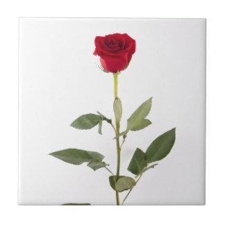 Sola teja del rosa rojo