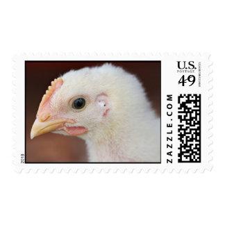 solamente polluelo