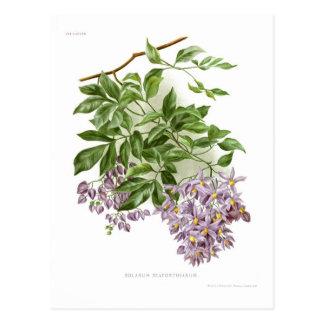 Solanum seaforthianum post card