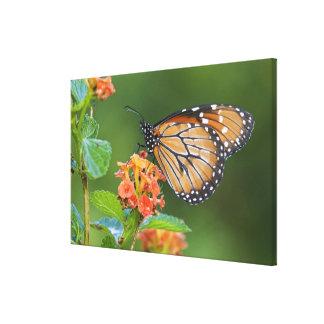 Soldier (Danaus eresimus) butterfly feeding on Canvas Print