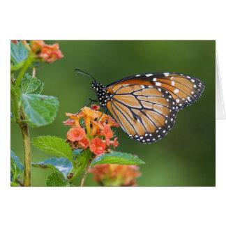 Soldier (Danaus eresimus) butterfly feeding on Card