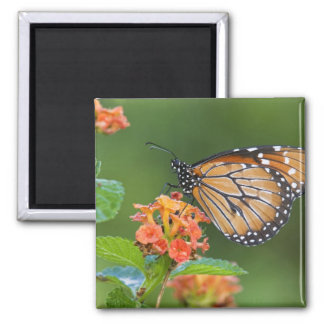 Soldier (Danaus eresimus) butterfly feeding on 2 Inch Square Magnet