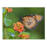 Soldier (Danaus eresimus) butterfly feeding on Postcard