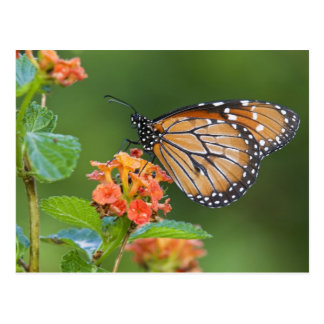 Soldier (Danaus eresimus) butterfly feeding on Postcard