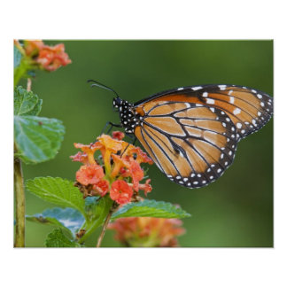 Soldier (Danaus eresimus) butterfly feeding on Poster