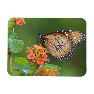Soldier (Danaus eresimus) butterfly feeding on Rectangular Photo Magnet