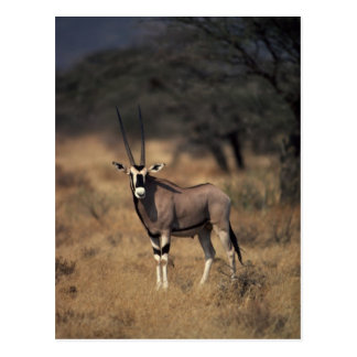 Solitary Antelope Postcard
