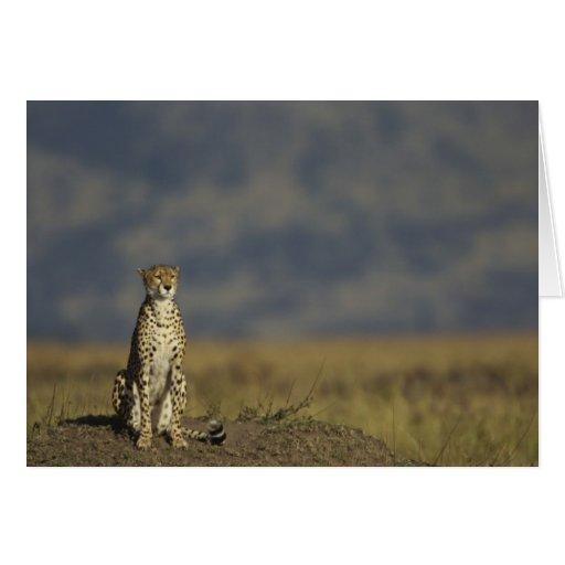 Solitary Cheetah Card