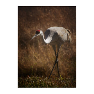 Solitary Sandhill Crane Acrylic Print