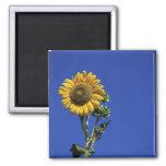 Solitary Sunflower Refrigerator Magnet