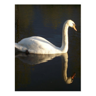 Solitary Swan Postcard