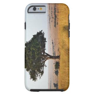 Solo árbol del acacia en los llanos herbosos