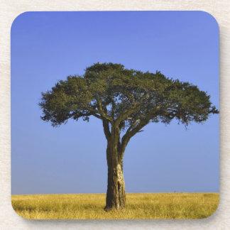 Solo árbol del acacia en los llanos herbosos, Masa Posavasos