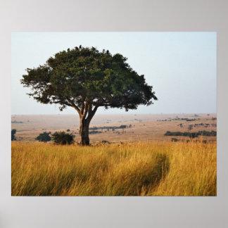 Solo árbol del acacia en los llanos herbosos, Masa Póster