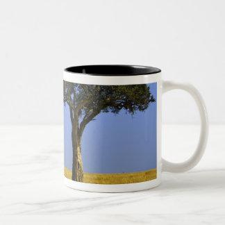 Solo árbol del acacia en los llanos herbosos, taza de dos tonos