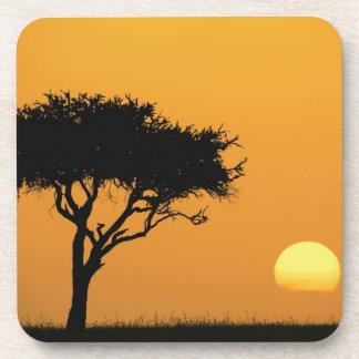 Solo árbol silueteado en la salida del sol, Masai  Posavasos De Bebida