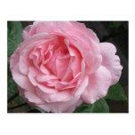 Solo color de rosa rosado - fotografía tarjetas postales