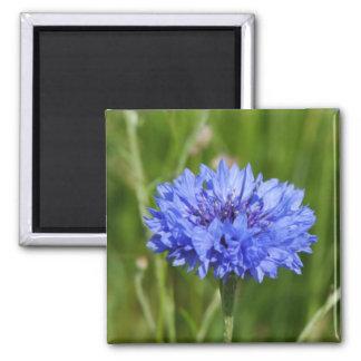 Solo Cornflower azul en prado inglés verde Imán Cuadrado