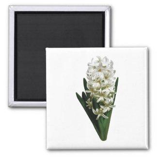Solo jacinto blanco imán cuadrado