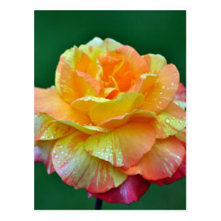 Solo rosa de té anaranjado postales