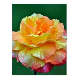Solo rosa de té anaranjado tarjetas postales