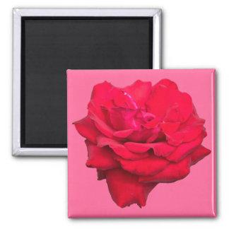 Solo rosa rojo imanes de nevera