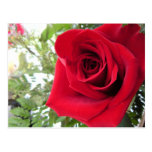 Solo rosa rojo postal
