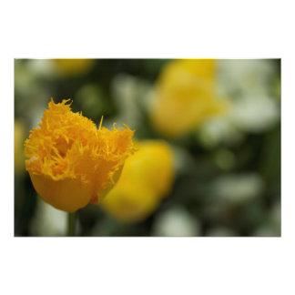 Solo tulipán amarillo fotografías