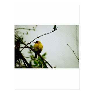 Solo Yellow Bird on Branch Postcard