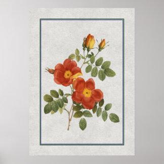 Solos rosas anaranjados poster