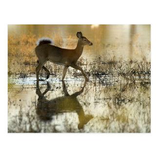 Sombra de los ciervos de la Blanco-Cola Postales