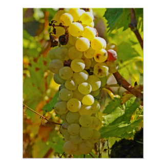 Some Chasselas in the vineyard - planted long Poster