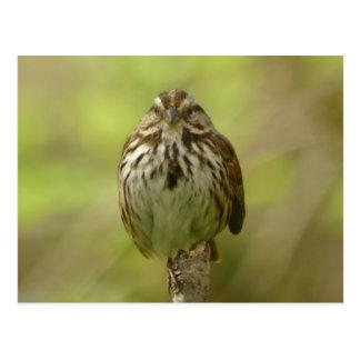Song Sparrow 2 Postcard