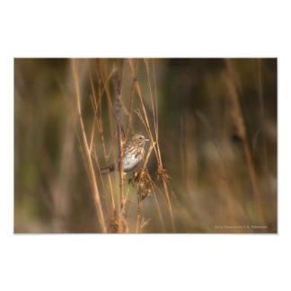 Song Sparrow by E.A. Schneider Photograph