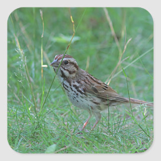 Song sparrow in the grass square sticker