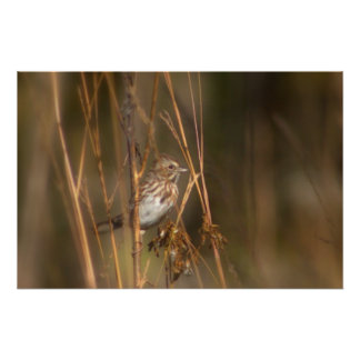 Song Sparrow in the Meadow Poster