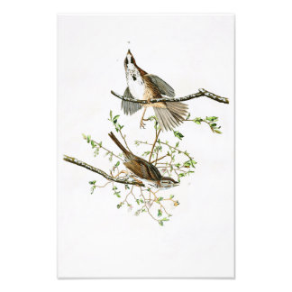 Song Sparrow John James Audubon Birds of America Photo Print