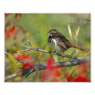 Song Sparrow Photographic Print
