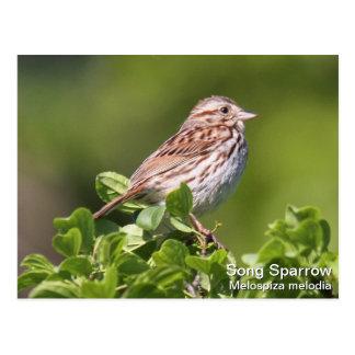 Song Sparrow Postcard