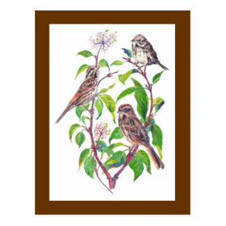 Song Sparrows, Cute Birds, Nature, Wildlife Postcard