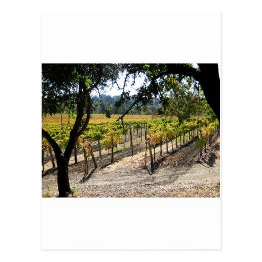 Sonoma Vineyard Postcard