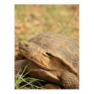 Sonoran Desert Tortoise Postcard
