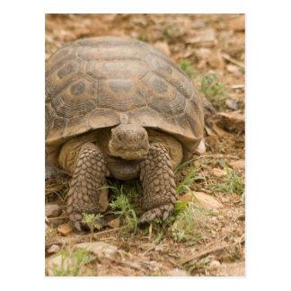 Sonoran Deset Tortoise Postcard