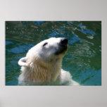 Sonrisa de los osos polares posters