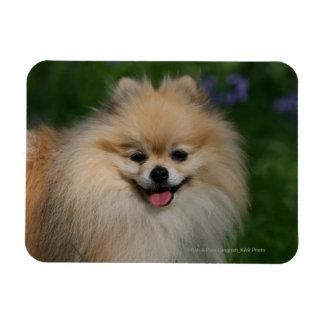 Sonrisa de Pomeranian Iman Rectangular