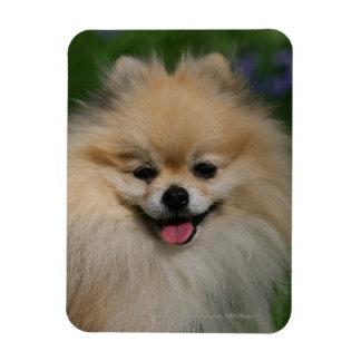 Sonrisa de Pomeranian Imanes De Vinilo